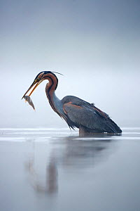 Purple heron (Ardea purpurea) catching fish on a misty morning, La Dombes lake area, France, June  -  David Pattyn