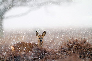 Roe deer (Capreolus capreolus) in a heather landscape in the snow, Kampina Nature reserve, The Netherlands, February - David Pattyn