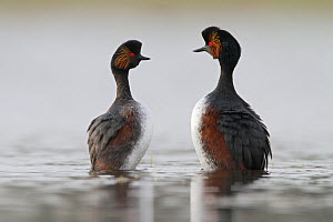 Black necked grebes (Podiceps nigricollis) pair in courtship dance during the mating season, La Dombes lake area, France, April - David Pattyn