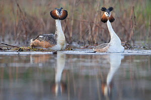 Great Crested grebes (Podiceps cristatus) courtship dance just after they finished mating, both have their crests erect in excitement, La Dombes area, France, April  -  David Pattyn