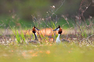 Great Crested grebe (Podiceps cristatus) courtship dance in between vegetation just after sunset, La Dombes area, France, April  -  David Pattyn