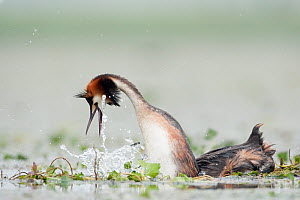 Great Crested grebe (Podiceps cristatus) male dancing on top of the female after mating, she is submerged, La Dombes area, France, June  -  David Pattyn