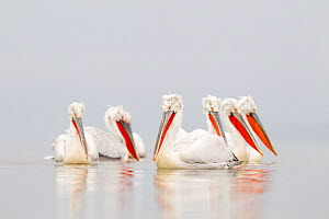 Dalmatian pelicans (Pelecanus crispus) group on water in mist, Lake Kerkini, Greece, February  -  David Pattyn