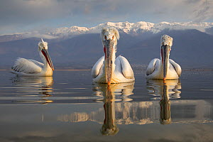 Dalmatian pelicans (Pelecanus crispus) portrait of three on water, Lake Kerkini, Greece, March. Nominated in the Story of a Species category of the Melvita Nature Images Awards competition 2013. Highl...  -  David Pattyn
