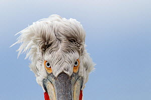 Dalmatian pelican (Pelecanus crispus) abstract head portrait, Lake Kerkini, Greece, March - David Pattyn