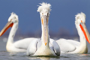 Dalmatian pelicans (Pelecanus crispus) group of three on water, Lake Kerkini, Greece, March  -  David Pattyn