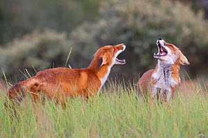 Red foxes (Vulpes vulpes) two fighting, probably over territory, The Netherlands, August  -  David Pattyn