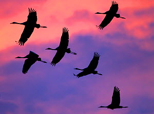 Common cranes (Grus grus) flock flying against colourful sky at sunrise, Pruchten, Germany, October  -  David Pattyn