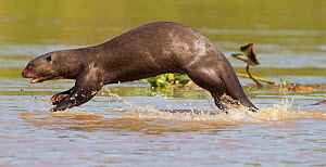 Giant otter (Pteronura brasiliensis) running at the edge of a river while playing with a family member, Rio Tres Irmaos, Pantanal, Brazil  -  David Pattyn