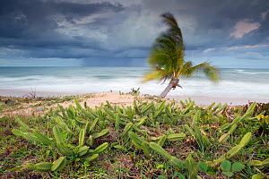 Stormy coastal landscape with heavy rainfall approaching the coast in very windy conditions with cacti at the edge of the beach, Marao peninsula, Bahia, Brazil, August 2010 - David Pattyn