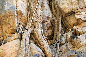 Northern Plains gray / Hanuman Langur (Semnopithecus entellus) three langurs resting in between the roots of a Banyan tree that is growing on steep mountain side, Ranthambore National Park, Rajasthan,... - David Pattyn