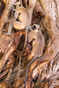 Northern Plains gray / Hanuman Langur (Semnopithecus entellus) family resting in Banyan tree whilst playful juvenile is swinging at tail of adult, Ranthambore National Park, Rajasthan, India - David Pattyn