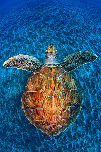 Green Turtle, (Chelonia mydas), Swimming over volcanic sandy bottom, Armenime cove, South Tenerife coast, Canary Islands, Spain, Atlantic Ocean, May 2011, Commended in Wildlife Photographer of the Yea... - Jordi Chias