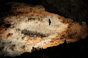 Schreiber's long fingered bat (Miniopterus schreibersi) in flight in cave, Grotta Monte Majore, Sardinia, Italy. Highly commended, Mammals category, GDT 2012 competition. - Solvin Zankl