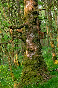 Ancient Sessile oak (Quercus petraea) with bird nest box, placed by wildlife trust for nesting Pied Flycatchers (Musciapa hypoleuca), Gilfach Nature Reserve, Radnorshire Wildlife Trust, Powys, Wales,...  -  David Woodfall