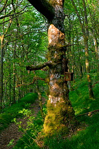 Ancient Sessile oak (Quercus petraea) with bird box, placed by Wildlife Trust for nesting Pied Flycatchers (Musciapa hypoleuca), Gilfach Nature Reserve, Radnorshire Wildlife Trust, Powys, Wales, UK Ma...  -  David Woodfall