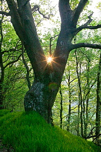 Sessile oak (Quercus petraea) tree with sunlight behind, ancient semi natural woodland in Gilfach Nature Reserve, Radnorshire Wildlife Trust, Powys, Wales, UK May - David Woodfall