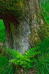 Sessile Oak (Quercus Petraea) ancient tree trunk with Broad buckler fern (Dryopteris austriaca) at base, Gilfach Nature Reserve, Radnorshire Wildlife Trust, Powys, Wales, UK, May  -  David Woodfall