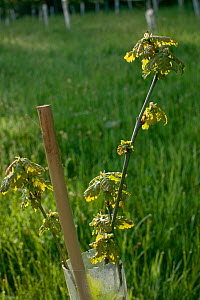 Sessile Oak (Quercus Petraea) tree saplings planted in plastic tubes by conservation volunteers to increase the size of oak woodland in Gilfach farm Nature Reserve, Radnorshire Wildlife Trust, Powys,...  -  David Woodfall