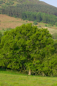 Large Sessile oak (Quercus petraea) in spring with background of old conifer plantation, Gilfach Nature Reserve, Radnorshire Wildlife Trust, Powys, Wales, UK May  -  David Woodfall