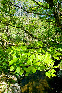 Sessile Oak (Quercus petraea) woodland in spring with fresh leaves over River Marteg, Gilfach Nature Reserve, Radnorshire Wildlife Trust, Powys, Wales, UK May  -  David Woodfall