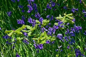 Sessile Oak (Quercus petraea) saplings growing through Bluebells (Endymion endymion) Gilfach Nature Reserve, Radnorshire Wildlife Trust, Powys, Wales, UK May  -  David Woodfall