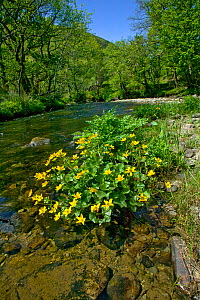 Marsh marigold (Caltha genus) flowering by river, Gilfach Nature Reserve, Radnorshire Wildlife Trust, Powys, Wales, UK  -  David Woodfall