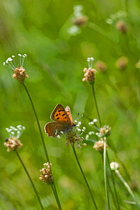Small Copper butterfly (Lycaena phyas) newly emerged feeding on plants, Gilfach Nature Reserve, Radnorshire Wildlife Trust, Powys, Wales, UK May  -  David Woodfall