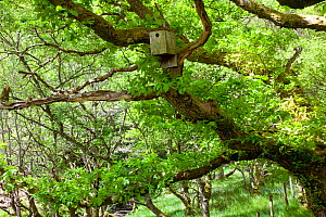Sessile oak (Quercus petraea) nesting box sited to encourage nesting Pied flycatchers, Gilfach Nature Reserve, Radnorshire Wildlife Trust, Powys, Wales, UK May  -  David Woodfall