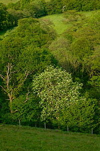 Hawthorn in flower (Cratagus monogyna) in upland nature reserve with Sessile oak alongside, Gilfach Nature Reserve, Radnorshire Wildlife Trust, Powys, Wales, UK May  -  David Woodfall