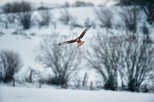 Red Kite (Milvus milvus) flying in snow, Rhayader, Wales, 2012. Commended, Landscape Photographer of the Year 2012 competition  -  Graham Eaton