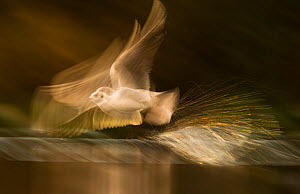 Black-headed gull (Chroicocephalus ridibundus) adult in winter plumage, taking off at dawn from tranquil lake.  (Non-ex) Derbyshire, UK. Highly commended, GDT competition 2012, Nature's studio categor... - Andrew Parkinson