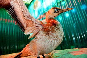 Cape gannet (Morus capensis) drying in a heated pen (a heat lamp illuminates the pen with a red light) after its first wash, which removed some of the oil that coated its feathers. Some oil remains on...  -  Cheryl-Samantha Owen