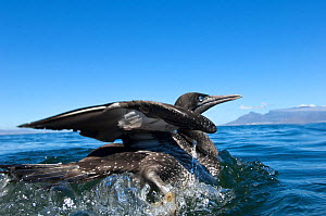 Cape Gannet (Morus capensis) juvenile released at sea near Robben Island, Table Bay, after hand rearing and rehabilitation at the Southern African Foundation for the Conservation of Coastal Birds (SAN...  -  Cheryl-Samantha Owen