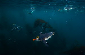 Royal Penguin (Eudyptes schlegeli) diving underwater near Macquarie Island, Sub-Antarctica, Australia. Highly commended, GDT competition 2012. - Ole Jorgen Liodden
