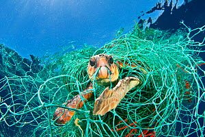 Loggerhead turtle (Caretta caretta) trapped in a drifting abandoned net, Mediterranean Sea. (Winner of the One Earth Award, WPY Competition 2010 )  -  Jordi Chias