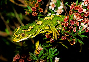 Jewelled gecko (Naultinus gemmeus) on a kanuka bush (Kunzea ericoides). Banks Peninsula; Canterbury, South Island, New Zealand. - Andy Trowbridge