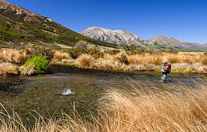 Fly fisherman (Murray Trowbridge) hooking a large brown trout (Salmo trutta) on the spring fed Hydra Waters, North Canterbury, South Island, New Zealand, November, 2003. Model released.  -  Andy Trowbridge