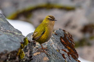New Zealand Rock Wren (Xenicus gilviventris) perched on a rock; Homer Tunnel, Fiordland National Park, South Island, New Zealand.  -  Andy Trowbridge