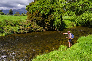 RF-  Fly fisherman fishing 'blind' for brown trout (Salmo trutta) on small spring creek which runs through farmland. He drifts a weighted nymph through likely holding areas for trout. Westland, West C... - Andy Trowbridge