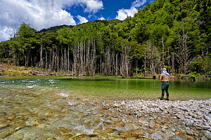 Fly fisherman (Paul van Klink) 'sight' fishing to brown trout (Salmo trutta) in a gin clear 'backcountry' river, Ugly River, Kahurangi National Park, Buller District, South Island, New Zealand. Decemb...  -  Andy Trowbridge