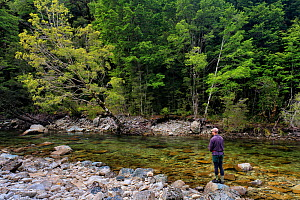 Fly fisherman (Paul van Klink) drifting a fly pass a brown trout (Salmo trutta) in a gin clear 'backcountry' river, Ugly River, Kahurangi National Park, Buller District, South Island, New Zealand. Dec...  -  Andy Trowbridge