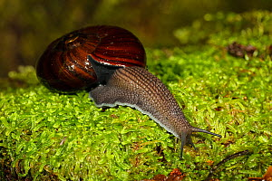 Giant land snail (Powelliphanta spp.) on wet moss, Oparara River, Kahurangi National Park, Buller District, South Island, New Zealand. January, 2006.  -  Andy Trowbridge