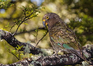 Kea (Nestor notabilis), juvenile, in beech forest, Homer Tunnel, Fiordland National Park, South Island, New Zealand. October, 2006. - Andy Trowbridge