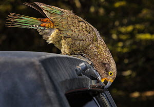 Kea (Nestor notabilis), juvenile, on car roof biting the rear windscreen wiper, Homer Tunnel, Fiordland National Park, South Island, New Zealand. October. - Andy Trowbridge