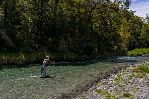 Fly fisherman casting a fly to a sighted brown trout (Salmo trutta) in a gin clear 'backcountry' river, Springs Junction, West Coast, South Island, New Zealand. December, 2009.  -  Andy Trowbridge