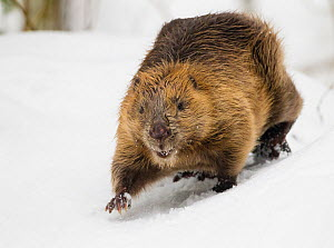 European beaver (Castor fiber) walking in snow. Southern Norway. February  -  Andy Trowbridge