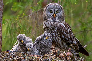 RF- Great Grey Owl (Strix nebulosa) adult and chicks on nest. Nest 'frame' is manmade. Ostersund, Sweden. June. (This image may be licensed either as rights managed or royalty free.)  -  Andy Trowbridge