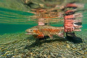 Underwater view of rainbow trout (Oncorhynchus mykiss) being released by a fly fisherman in a small spring fed stream, North Canterbury, South Island, New Zealand. December, 2011.  -  Andy Trowbridge