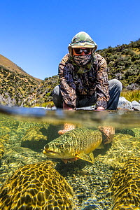 Split level shot of a fly fisherman (Murray Trowbridge) releasing a large brown trout (Salmo trutta) in a gin clear 'backcountry' river, North Canterbury South Island, New Zealand. January, 2012. Mode...  -  Andy Trowbridge